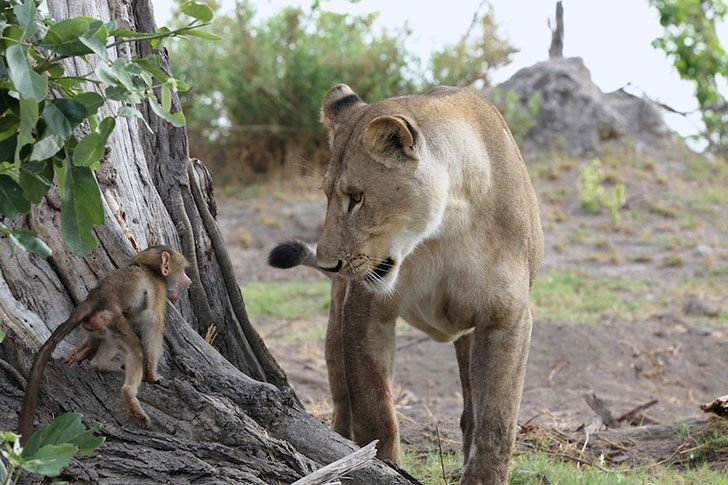 a-lioness-captures-a-baby-baboon-and-does-the-last-thing-youd-expect_3