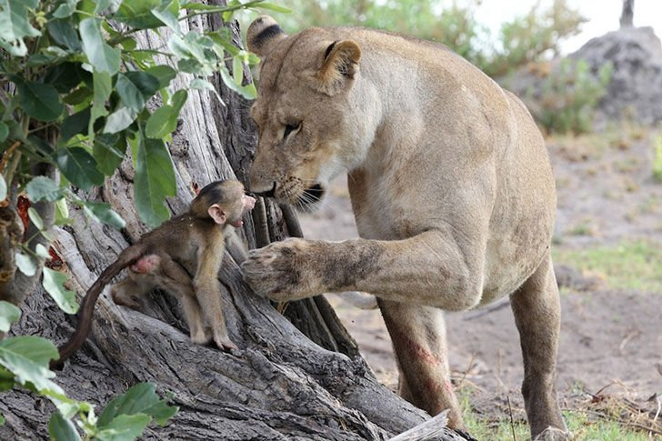 a-lioness-captures-a-baby-baboon-and-does-the-last-thing-youd-expect_4