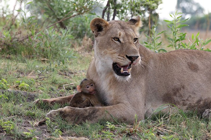 a-lioness-captures-a-baby-baboon-and-does-the-last-thing-youd-expect_5