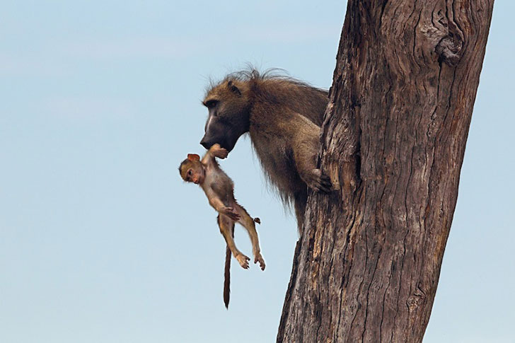 a-lioness-captures-a-baby-baboon-and-does-the-last-thing-youd-expect_9