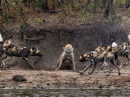 This Hyena Was Cornered By A Pack Of Wild Dogs, But What It Does Next Is Genius